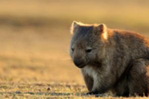 Enjoy the wombats at dusk